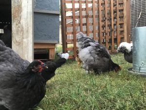 Kansas City Chickens