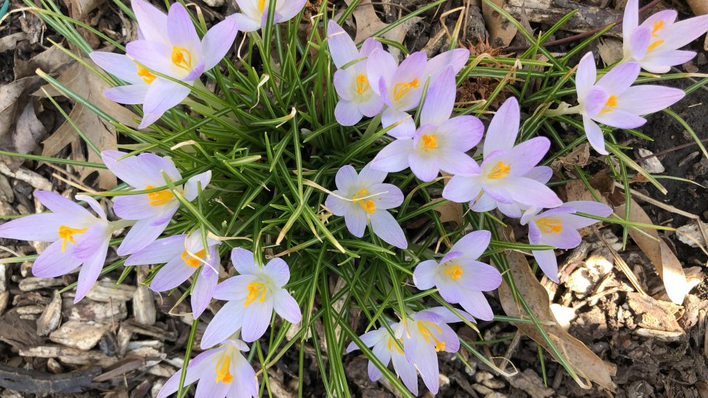 crocus bulbs in bloom