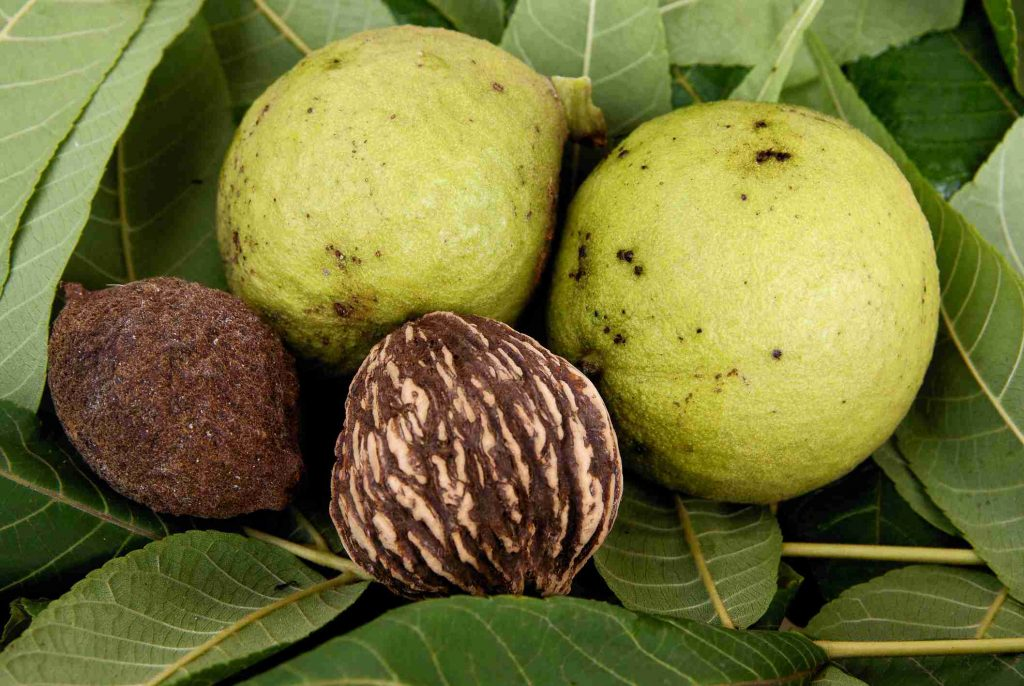 Black Walnuts in a food forest
