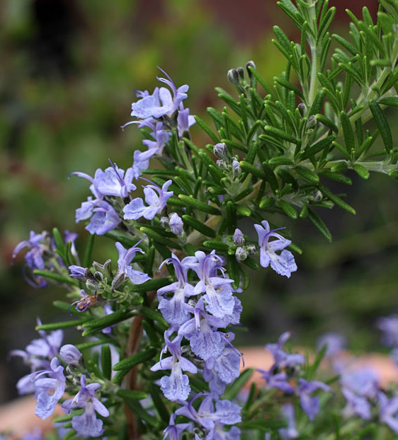 rosemary to fight cancer