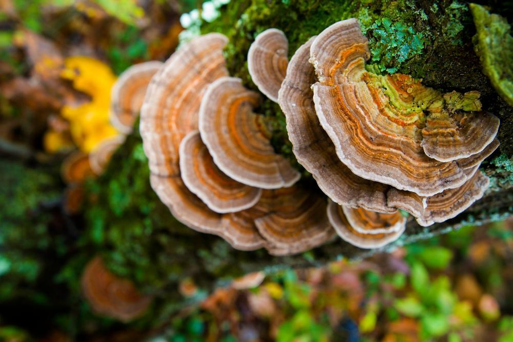 turkey tail to fight cancer